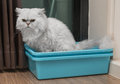 Chinchila persian cat using toilet, litter box, for pooping or urinate Royalty Free Stock Photo