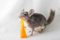 Chinchilla Eating Popsicle