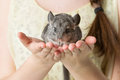 Chinchilla Sitting On Hands
