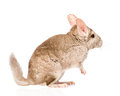 Chinchilla standing on hind legs in profile isolated white Stock Images