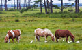 Chincoteague ponies with cattle egrets on assateague island Royalty Free Stock Photography