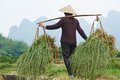 Chinese agricultural farm worker asian woman at work carrying green rice grass or weed in agriculture field Royalty Free Stock Photos