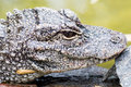 Chinese alligator alligator sinensis close up of a Stock Images