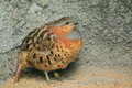 Chinese bamboo partridge Stock Photos