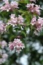 Chinese beauty bush Stock Images