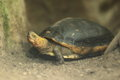 Chinese box turtle Stock Photo