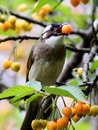 Chinese Bulbul[Pycnonotus sinensis] Royalty Free Stock Photo