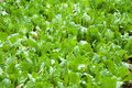 Chinese cabbage in the lush growth on land Stock Image