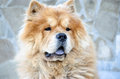 Chinese chow chow dog at the street Stock Photo