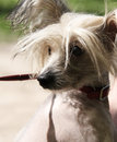 Chinese crested dog portrait close up Royalty Free Stock Images