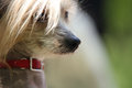 Chinese crested dog portrait close up photo Stock Photography