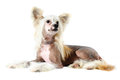 Chinese crested dog portrait isolated on white purebred lying in diamond collar Stock Images