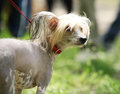 Chinese crested dog portrait walking photo Stock Photo