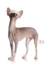 Chinese crested puppy Royalty Free Stock Photo
