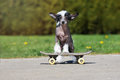 Chinese crested puppy on a skateboard posing outdoors Stock Images