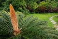 Chinese cycad Royalty Free Stock Image