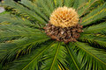 Chinese cycad, China Royalty Free Stock Photo