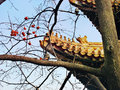 Chinese design traditional roof and,the plum tree shade Royalty Free Stock Photo