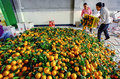 Chinese are discharged from box oranges fruit in large pile yangshuo guangxi china march processing of spring harvest march women Stock Photo