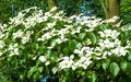 Chinese Dogwood, Cornus kousa, with inflorescences Royalty Free Stock Photo