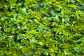Chinese duckweed morning dew on the Royalty Free Stock Image