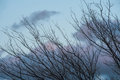 Chinese elm at eventide ragged leafless branches of against grey and pink evening sky Stock Images