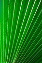 Chinese fan palm texture background Royalty Free Stock Image