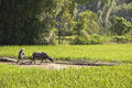 Chinese farmer and his buffalo working in a rice field