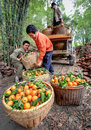 Chinese farmers unload truck with oranges in wicker baskets, Guangxi. Royalty Free Stock Photo