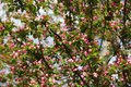Chinese flowering crabapple in spring Royalty Free Stock Photo