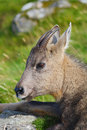Chinese Goral Stock Images