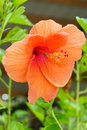 Chinese Hibiscus flower and Aphidoidea Royalty Free Stock Photo
