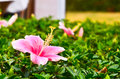 Chinese hibiscus pink Royalty Free Stock Photo