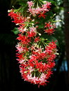 Chinese honey suckle rangoon creeper colorful red pink tiny tropical fragrant flowers Royalty Free Stock Image