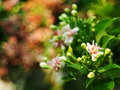 Chinese honey Suckle, Rangoon creeper, colorful red pink tiny tropical fragrant flowers Royalty Free Stock Photo