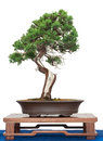 Chinese juniper as bonsai tree Royalty Free Stock Photo