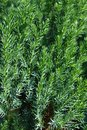 Chinese Juniper Stricta Royalty Free Stock Photo