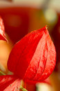Chinese lantern flower physalis alkekengi or alkekeng is a with lobed corolla and red papery covering it is also called japanese Royalty Free Stock Image