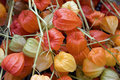 Chinese lantern flowers Royalty Free Stock Images