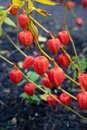 Chinese Lantern Lily In A Gard...