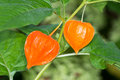 Chinese Lantern Plant Royalty Free Stock Photo