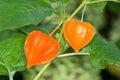 Chinese Lantern Plant Royalty Free Stock Photo
