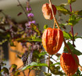 Chinese lantern plant (Physalis alkekengi) Royalty Free Stock Photo