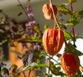 Chinese lantern plant (Physalis alkekengi) Royalty Free Stock Photo