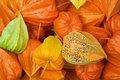 Chinese Lantern Pods Stock Photo