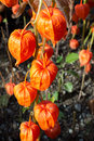 Chinese lanterns with bright orange flowers on a sunny day outdoors Royalty Free Stock Photo