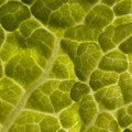 Chinese lettuce close up Royalty Free Stock Photo