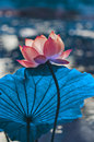 Chinese lotus originality beautiful blue Royalty Free Stock Photos