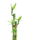 Chinese lucky Bamboo Royalty Free Stock Images