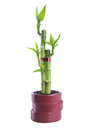 Chinese lucky Bamboo Stock Photography